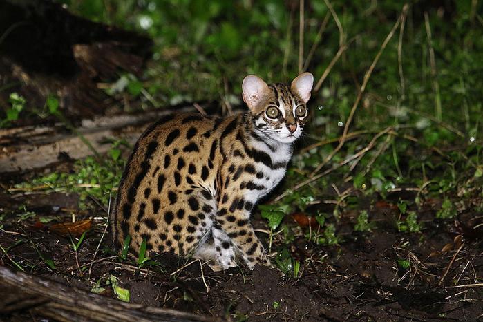 леопардовая кошка (700x466, 430Kb)