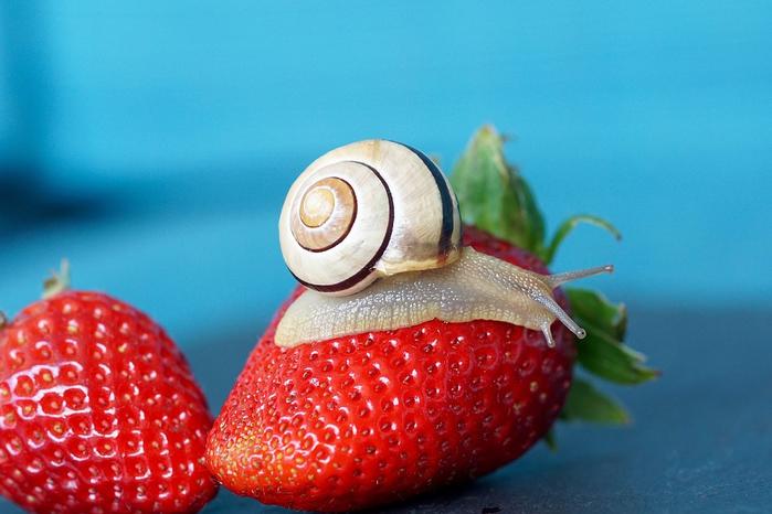 strawberry-2249801_960_720 (700x466, 330Kb)