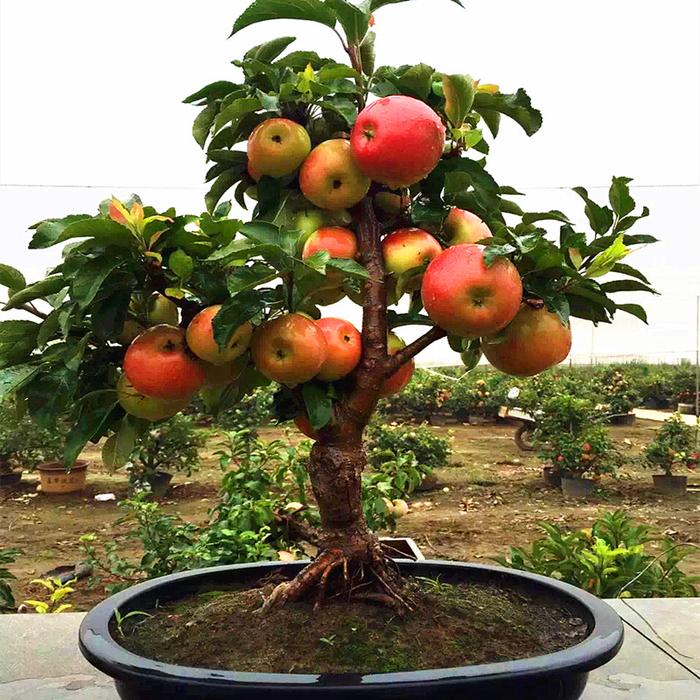50-шт-очень-редкие-карликовые-font-b-apple-b-font-дерево-сладкий-плод-посадили-фруктовые-деревья (700x700, 606Kb)