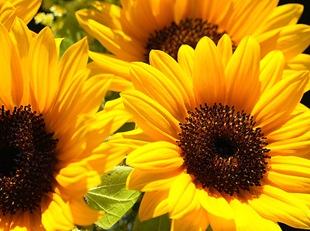 sunflower_thumb (310x231, 119Kb)