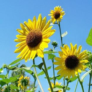 sunflower_thumb (310x310, 130Kb)