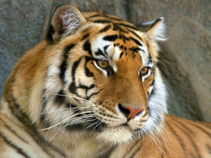 tigr_12 (700x525, 430Kb)
