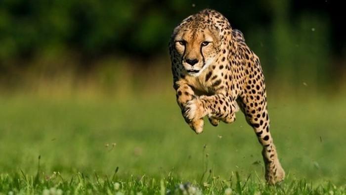 Кто из четвероногих животных самый быстрый?
