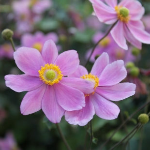 thumbs_01anemone-japonica (310x310, 98Kb)