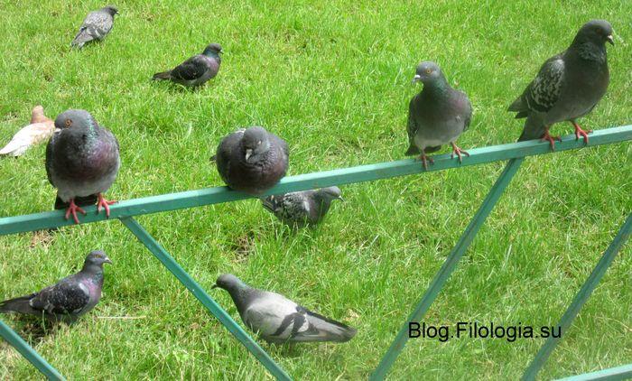 Городские голуби на лужайке/3241858_golubi (700x422, 88Kb)