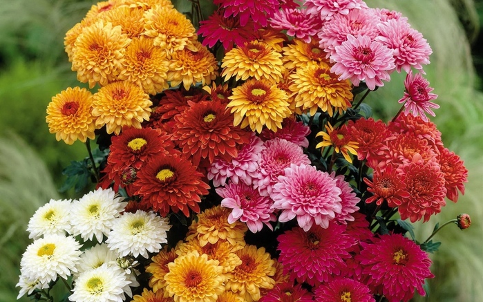 chrysanthemums_flowers_bouquet_different_bright_beautiful_28228_1280x800 (700x437, 214Kb)