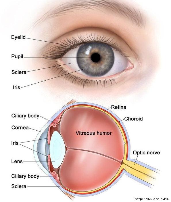 """alt=""""Витамин D для глаз.""""/2835299__2_ (595x700, 177Kb)"""