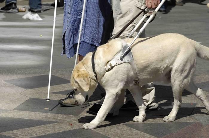 Как тренируют собак поводырей?