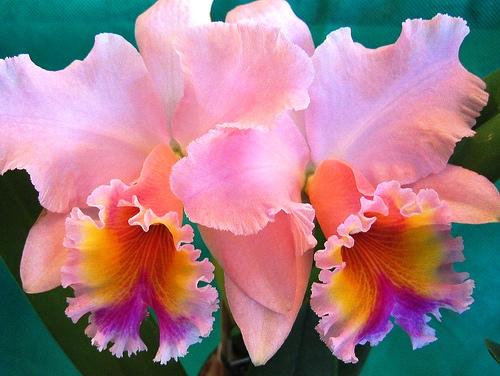Цветение-орхидеи (500x376, 98Kb)