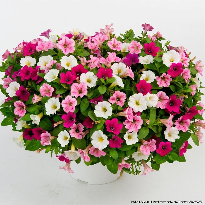 6bd70d51eaeaeee5fd318415185beff0--cotton-candy (700x700, 379Kb)
