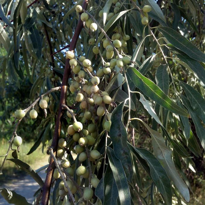 ягоды лох серебристый (дикая маслина)/683232_loh (700x700, 491Kb)