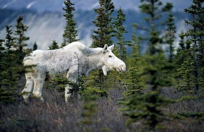 Видео, как необычный белый лось прогулялся по Швеции