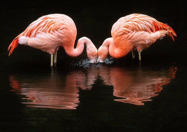 flamingo_5-620x438 (620x438, 178Kb)