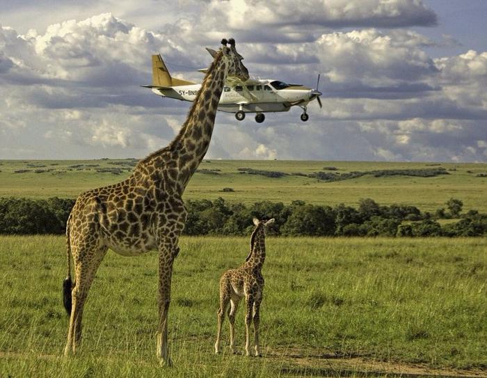 2. Любопытный жираф рассматривает маленький самолет (700x543, 449Kb)