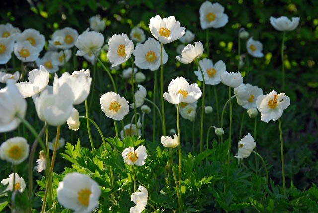 3085196_content_anemone_in_your_garden5 (640x429, 124Kb)