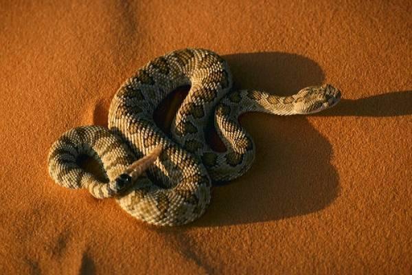 Правда ли, что гремучая змея гремит перед нападением?