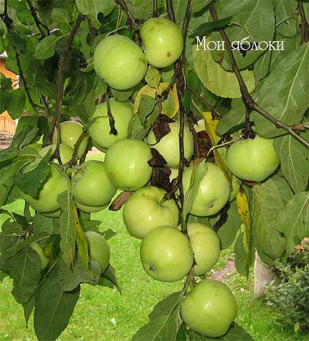 мои-яблоки (450x497, 79Kb)