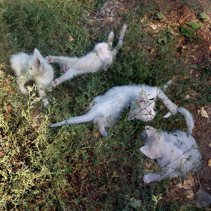 Белые котята/683232_beliye_kotyata_1_ (700x700, 733Kb)