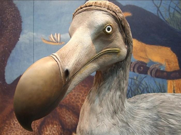 Существовала ли птица, похожая на дронта? Символ увядающего и глупого
