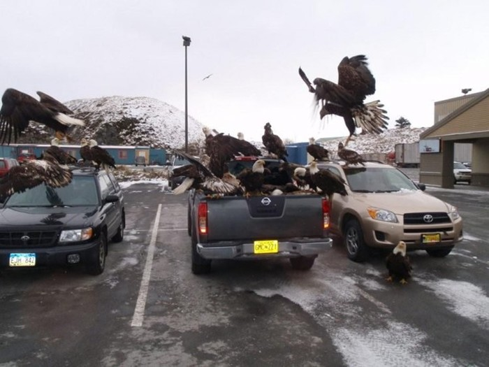 Орлы на Аляске — как голуби у нас!
