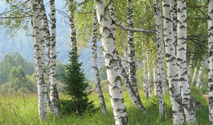 Какие деревья помогают выжить в лесу?