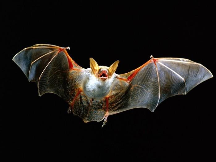 """Как видят летучие мыши? Как устроено их ультразвуковое """"зрение"""""""
