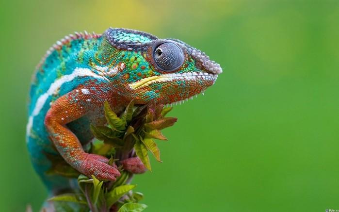 Как хамелеон меняет свои цвета?