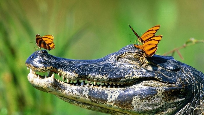 Нападают ли крокодилы на человека? Больше людей убивают только кобры!