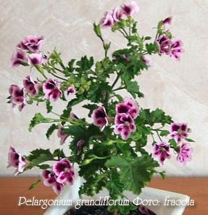 Pelargonium-grandiflorum1 (300x310, 57Kb)