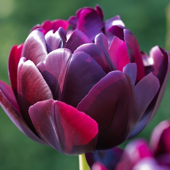 tulip-black-hero-3-700x700 (700x700, 78Kb)