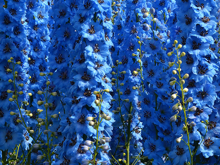 Delphinium_Closeup_Light_Blue_526281_800x600 (700x525, 346Kb)
