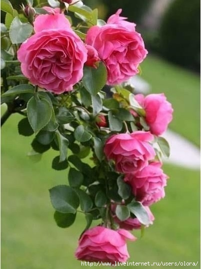 image розы с куста (402x537, 113Kb)