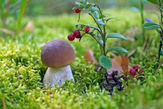 Обои рабочего стола грибы в лесу