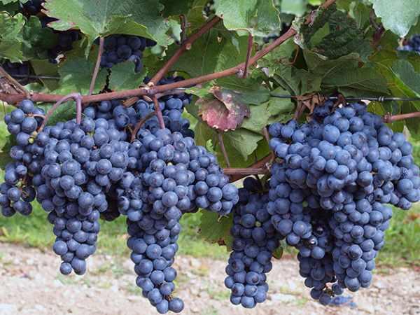 Обрезка винограда для начинающих/4512595_obrezka_vinograda_dlja_nachinajushhih5_3_ (600x450, 41Kb)