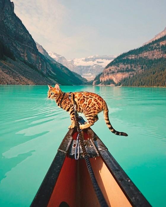 Бесстрашная бенгальская кошка, которая путешествует по всему миру!