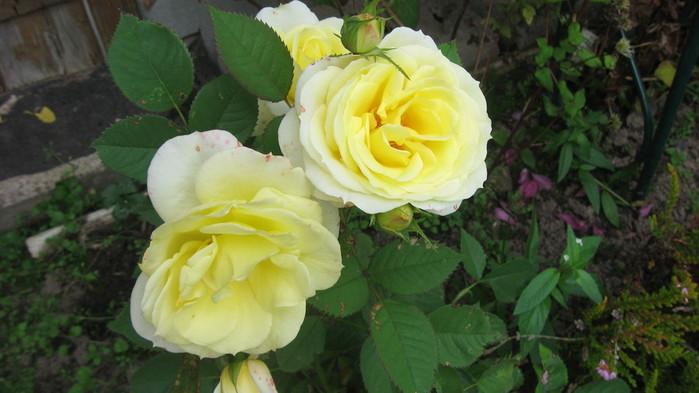 Розы (700x393, 75Kb)