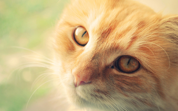 Animals___Cats_Muzzle_red_cat_088289_ (700x437, 113Kb)