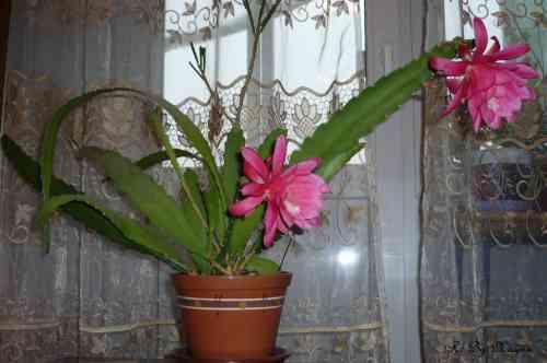 kaktus-ot-psoriaza-otzivi