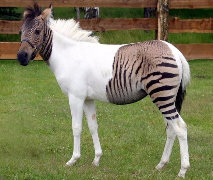 3. Зеброид — помесь зебры и пони (700x590, 462Kb)