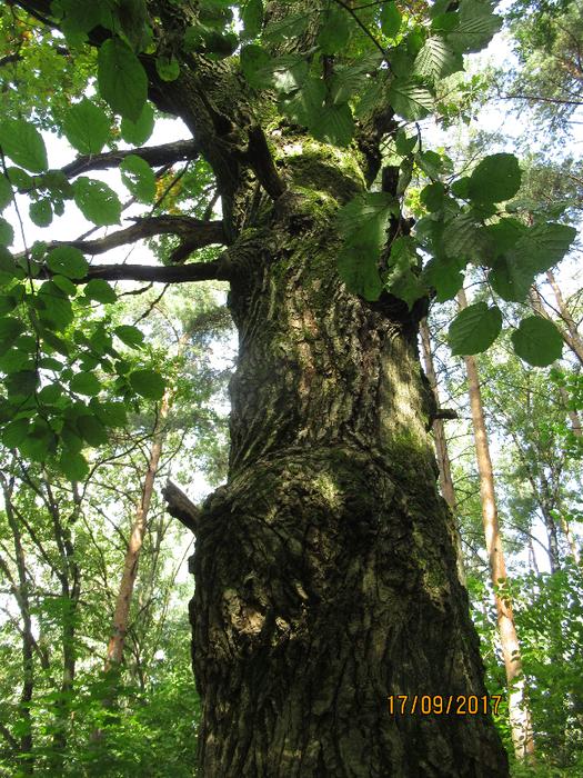 дерево (525x700, 677Kb)