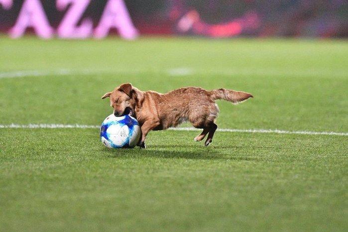 Озорной пес отобрал мяч во время матча у футболистов