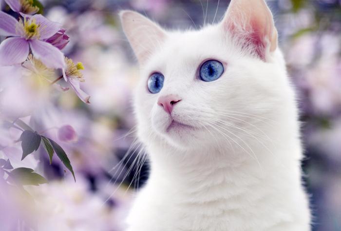белая-кошка-1 (700x473, 296Kb)