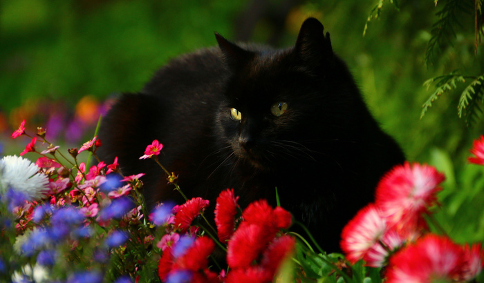 2714816_2017Animals___Cats_Beautiful_black_cat_in_flowers_113536_27 (700x410, 158Kb)