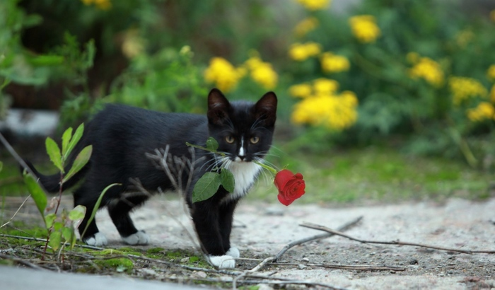 2714816_Animals___Cats_Rose_in_the_teeth_of_a_kitten_095806_27 (700x410, 109Kb)