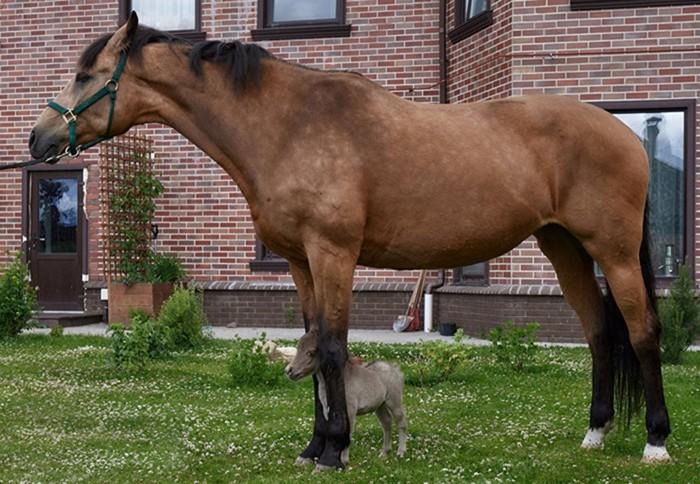 Под Петербургом родилась самая маленькая в мире лошадь по имени Гулливер