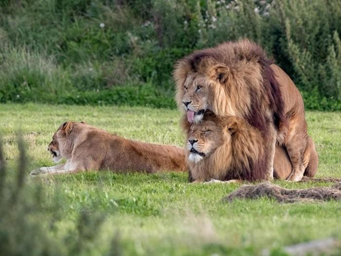 Гей-прайд: Два льва занимались сексом на глазах у самки