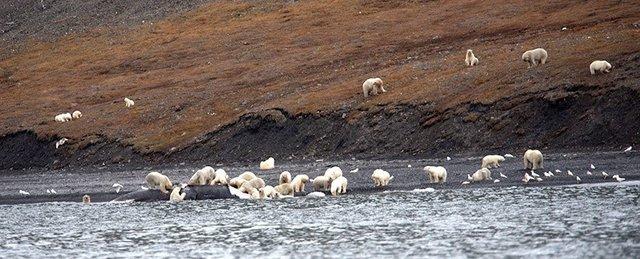 фото белых медведей 4 (640x259, 185Kb)