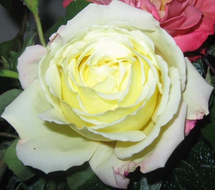Кэнон Белвя роза (700x619, 99Kb)