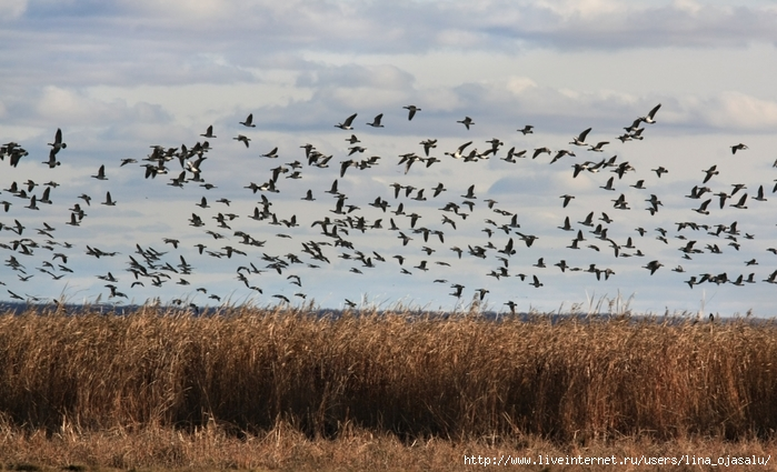 2714816_Reeds_and_Barnacle_Geese_1_ (700x425, 255Kb)