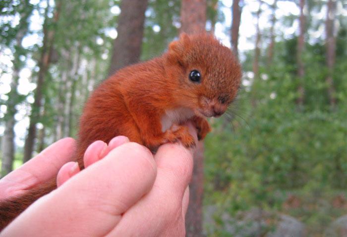 adopted-wild-red-squirrel-baby-arttu-finland-19 (700x480, 231Kb)